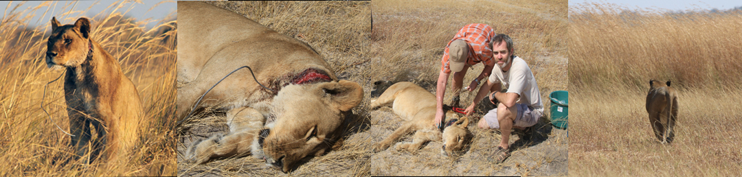 The snare was removed from this lioness, not a minute too soon. She has been sighted since and reported to be doing well.