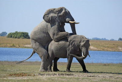 Elephants mating