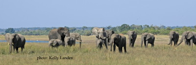 Herds grazing on the now exposed luscious grasses in Chobe