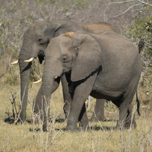 "EWB collared elephant with her ""escort"""