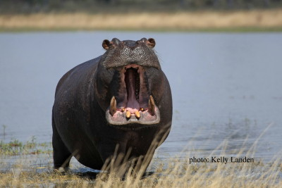 Bull hippo, letting us know who is boss