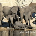 Elephants mourn the loss of a young bull
