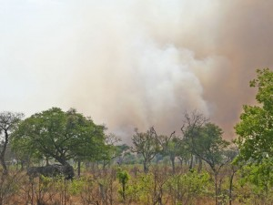 "Elephants under the ""protection"" of a Teak tree as fire looms near"