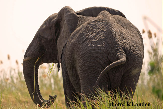 ...if we can't save the African elephant, what hope do we have for the rest of Africa's wildlife?