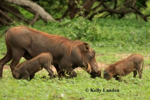 """warthogs with new babies, running back and forth.."""