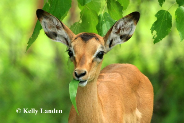 """gentle-eyed Impala, to see dear Santa through..."""