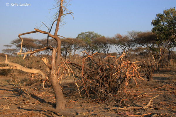 vegetation takes slack from consistent use by elephants
