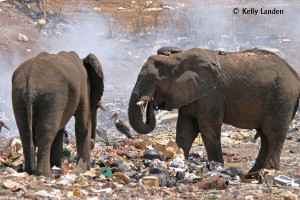2 Bulls in the old Kasane garbage dump, adorned w plastic