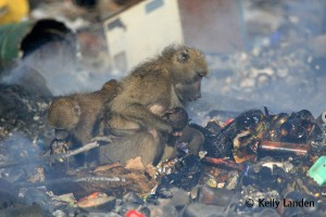 Mother Baboon w babe in burning trash