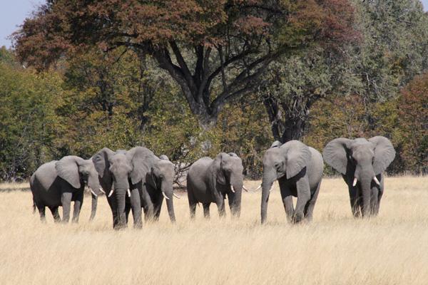 Elephants in Moremi