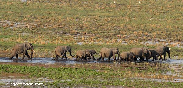 Elephants crossing the Savuti marsh