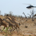 Botswana Giraffe Research is well underway!