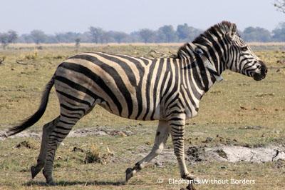 One of EWB's satellite monitored zebra