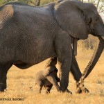 Re-introduced Abu Camp Elephant, Gika, has her first calf in the wild!