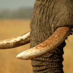 Deterrence: a remedy for saving elephants from poaching?