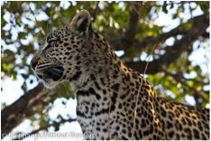 EWB leopard