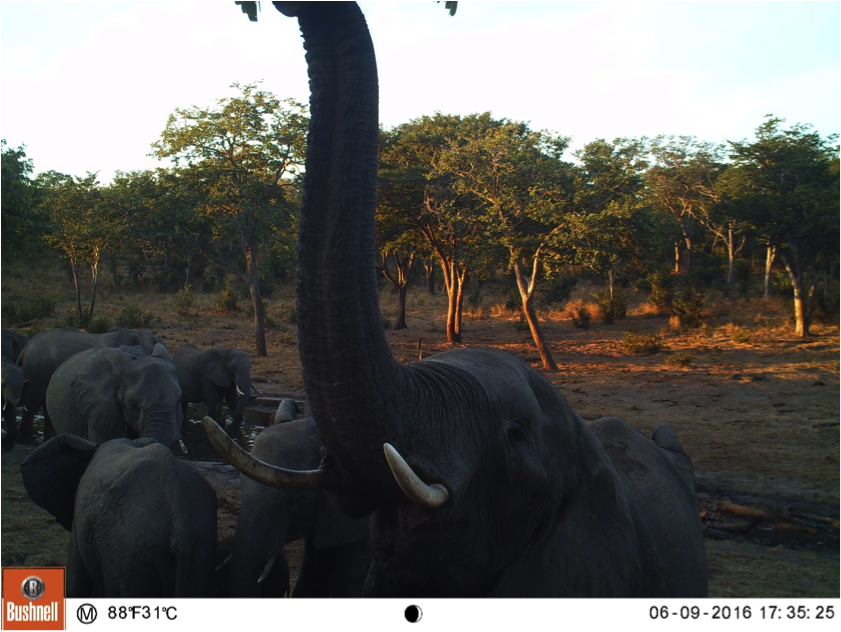 Up close and personal, a curious elephant examines my equipment