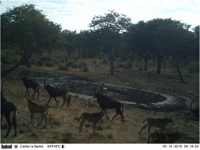 A herd of rare sable antelope at Kalwezi waterhole.. with young calves, a welcome sight!