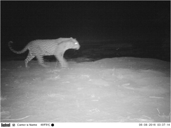 A large male leopard sneaking in the night at one of the artificial waterholes in the Chobe enclave communal area.