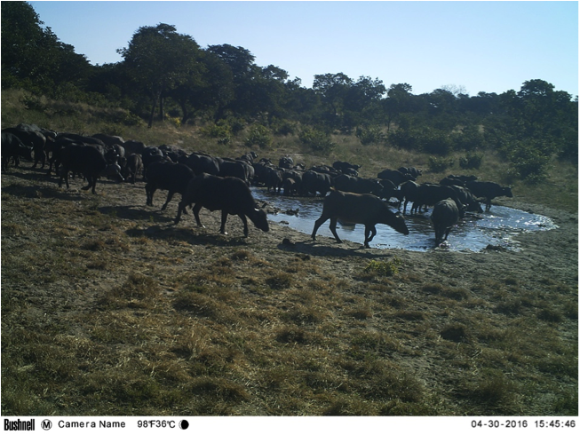 Large herds of buffalo are also common visitors to the waterholes