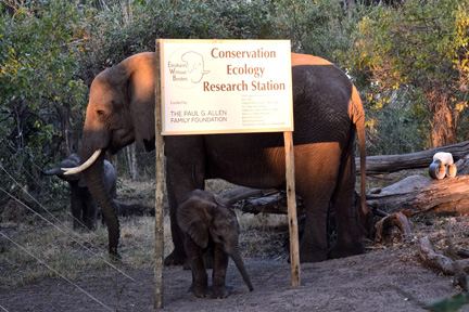 I was lucky to have a visit at the Research Station by the rewilded elephants EWB is monitoring on the Abu concession