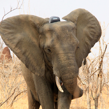 Tracking Elephants Without Borders